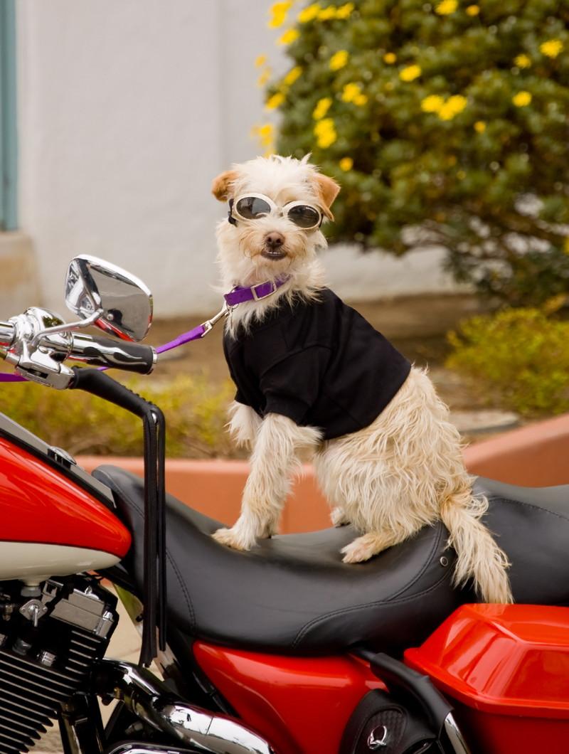 ハーレーのシートにいる犬